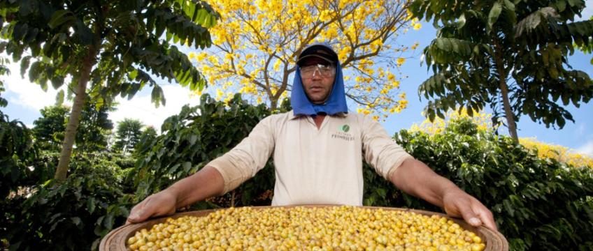 Café sustentável: a importância da sustentabilidade para o futuro da cafeicultura no Brasil